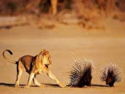 angry porcupine 1