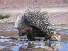 angry porcupine 2